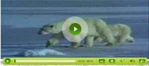 Ós polar (Edu3.cat)