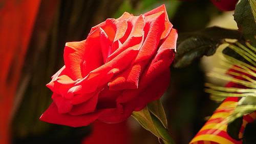 rosa-sant-jordi-noticias