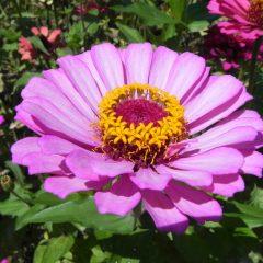 cropped-Flor-Japó-reduïda.jpg