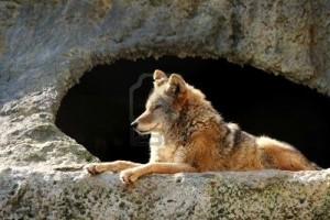 2990894-le-loup-vives-brill-par-le-soleil-jette-pr-s-d-39-une-grotte