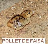 pollet-de-faisae