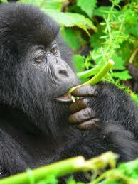 goril·la menjant