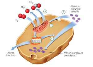 respiració cel·lular