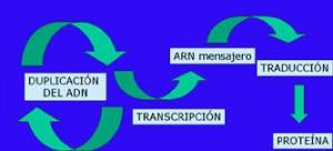 duplicacio, transcripció i traducció