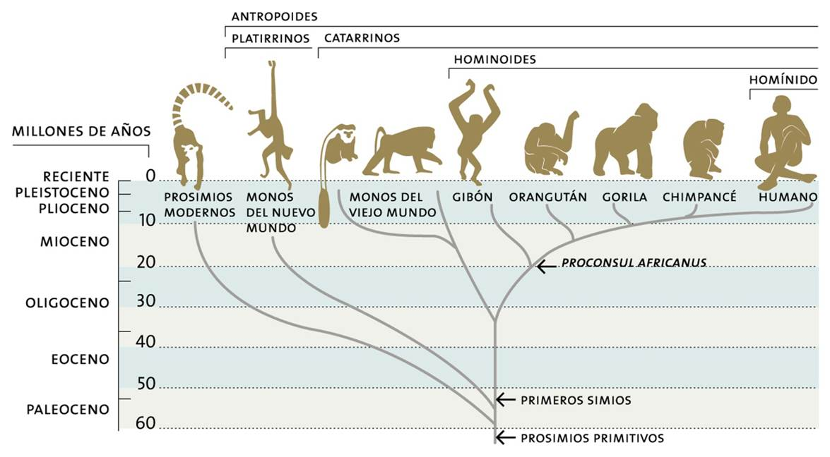 Arbol_filogenetico homínids