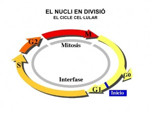 cicle cel 2