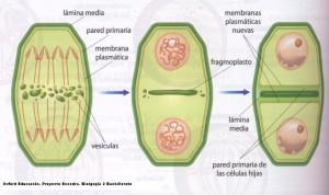 citocinesi 2