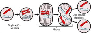 mitosis2