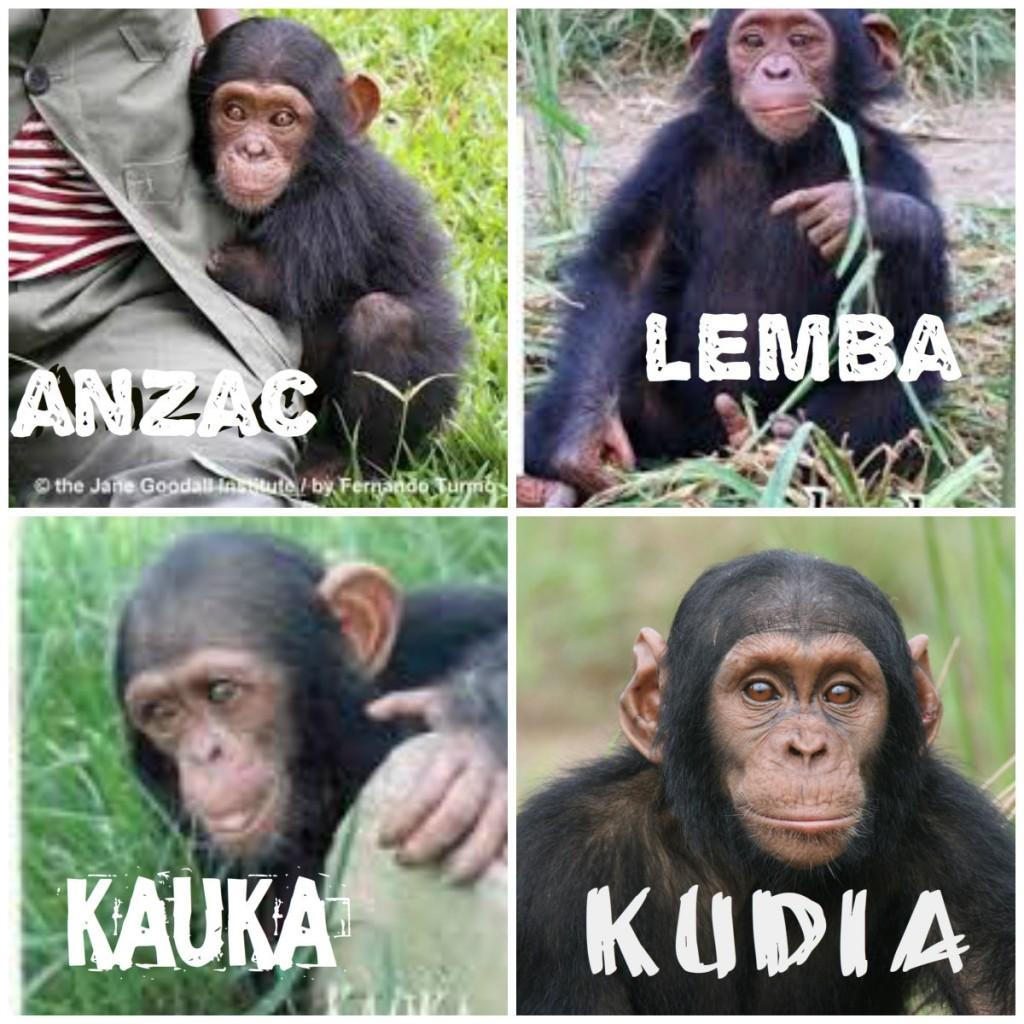 ximpanzès junts