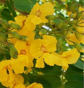 tipuana-en-floracia