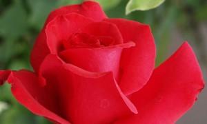 rosa-sant-jordi