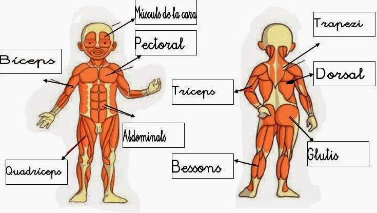 solucions musculs