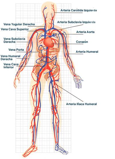 sistema_circulatorio21