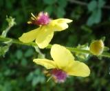 flors d'estiu