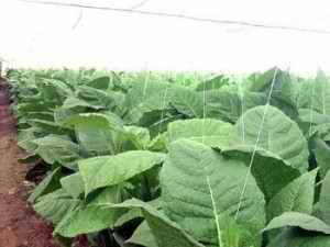 Planta del tabac
