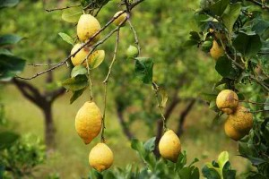 Cissibackman: Lemons in Sóller, Mallorca