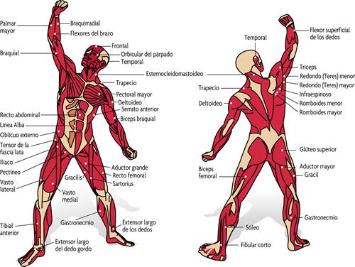 musculs