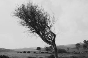 En els llocs on hi bufa molt fort el vent els arbres prenen la forma que la direcció d'aquest marca.
