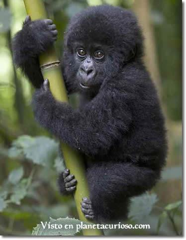 foto-gorila-20061.jpg