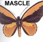 mascle-cua-docell