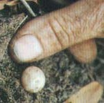 platypus-egg1