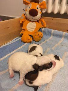 tiger dogs 2image1_opt.jpg 333