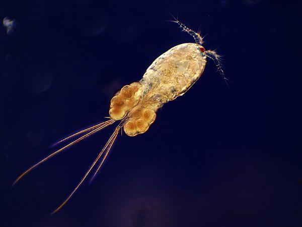 copèpode