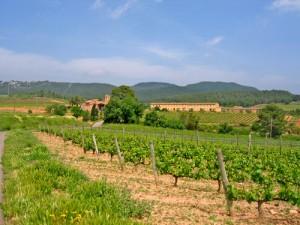 Vista panoràmica de les vinyes.