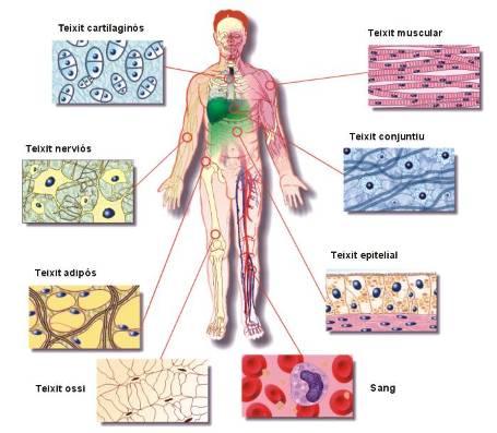 els teixits del cos humà