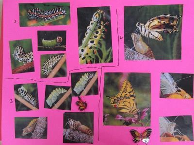 La papallona en diferents moments: 2, eruga golafre, 3: fent el capoll, 4: sortint del capoll i desplegant les ales de papallona