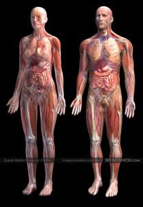 human-anatomy1