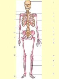 esquelet1a