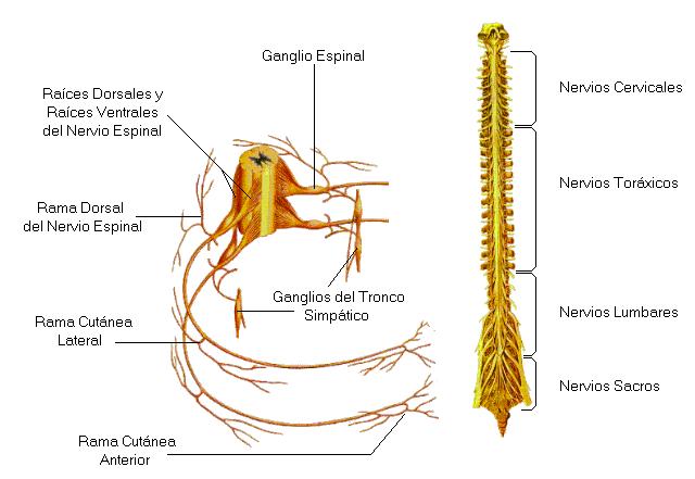 medula.png