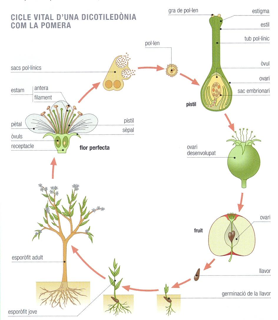 angiospermes-cicle.jpg
