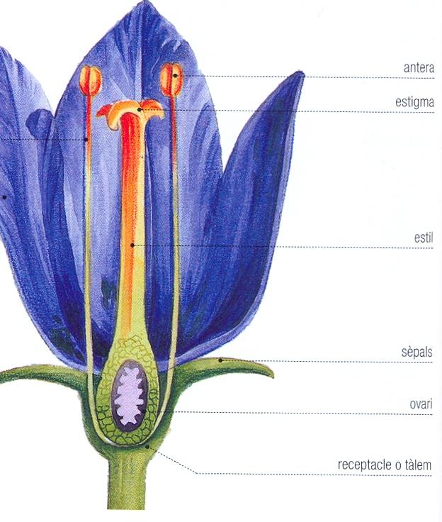 angiospermes-flor-parts.jpg