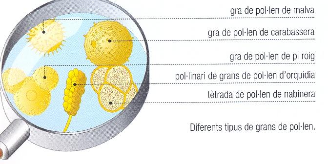 gra-de-pollen.jpg