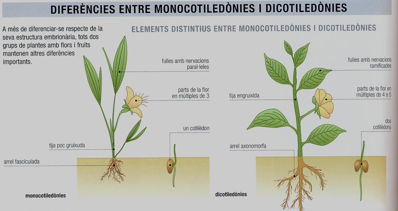 monocot-dicotiledonies22.jpg