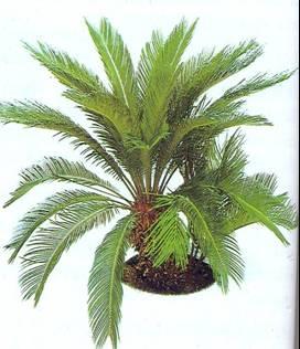 gimnosperma-cicadacia.jpg
