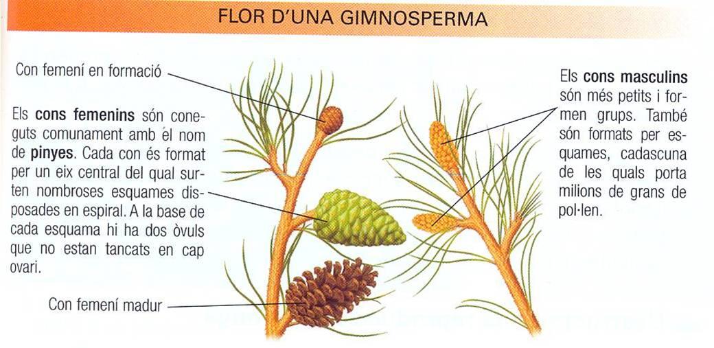 gimnosperma-flortot.jpg
