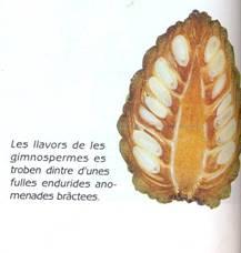 gimnosperma-fruit.jpg