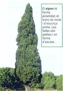 gimnosperma-xiprer.jpg
