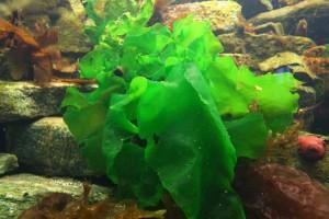 10-alga-ulva