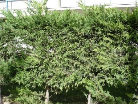 cupressus-sempervirens.JPG