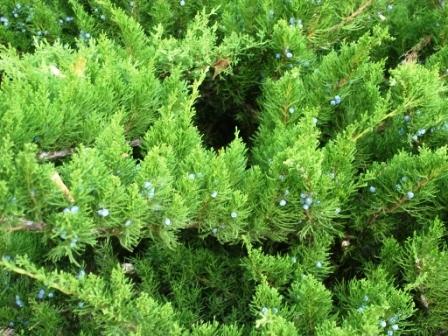 juniperus-sabina.JPG