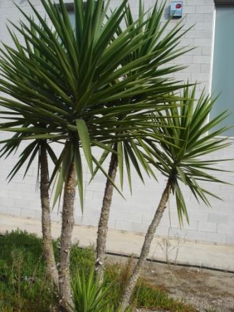 yucca-elephnatipes2.JPG