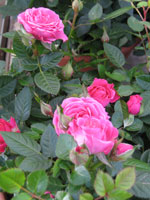 El roser florit