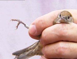 ocells-fitxats
