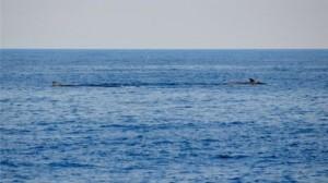 Els tres rorquals comuns nedant a 500 metres del Cap de Creus / PROJECTE NINAM