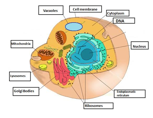 animal cell and its functions. What is the cell membrane? 5.