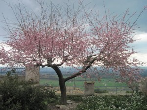 Arbre florit- Laia